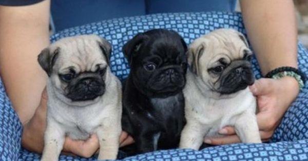 Ok Boys Baby Pugs Cute Pug Puppies Cute Pugs