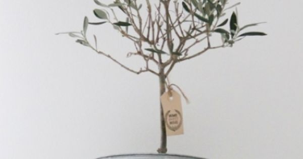 How to plant an olive tree http homestead and survival for Growing olive trees indoors