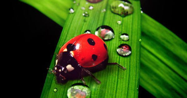 Ladybug and droplets on green leaf water droplets pinterest ladybug and leaves - Ladybug watering can ...
