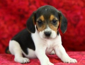 Charming Beagle Puppy For Adoption Mustang Ok Asnclassifieds
