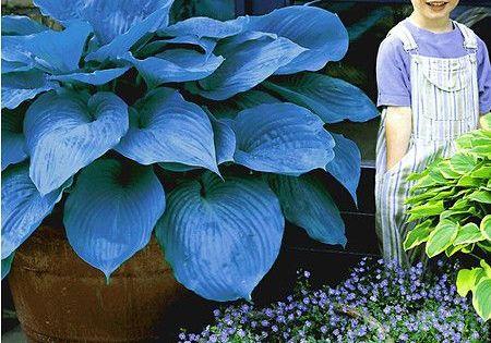 Blaue Zwergpalme Chamaerops Humilis