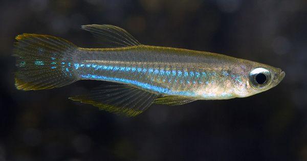 Nano Tank Fish Blue Lampeye Killifish Google Search