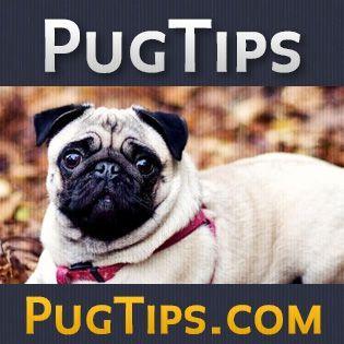 Pug Care 101 Pug Tips Pug Puppies Training Pug Training