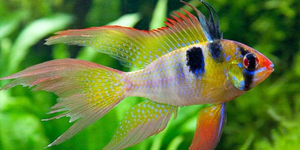 Blue Ram Cichlid Care Guide The Aquarium Guide Aquarium Fish Cichlids Cichlid Fish