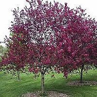 Canada Red Select Cherry Tree Lilac Tree Japanese Lilac Tree Olive Trees Landscape