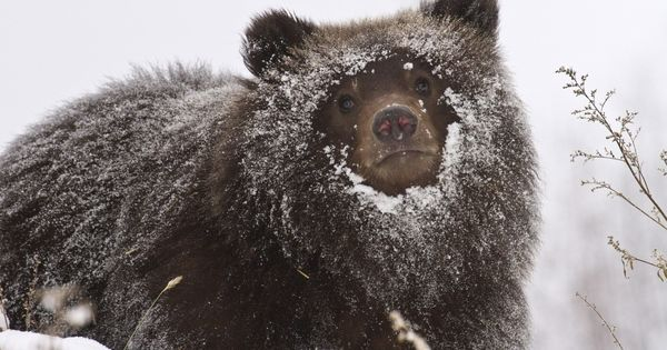 Grizzly bears, Cubs and Zoos on Pinterest