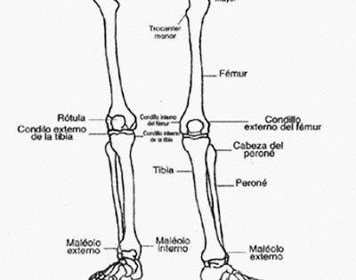 Resultado De Imagen Para Extremidades Inferiores Para Colorear Con Sus Partes Huesos De La Pierna Huesos Del Brazo Cuerpo Humano