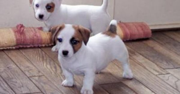 Jack russel terrier's are full of energy Puppies Pinterest