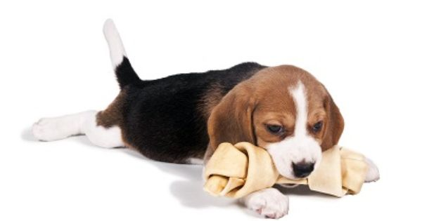 Caring For Beagles Cute Beagles Beagle Dog Care