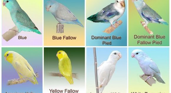 pacific parrotlet color mutation chart bird and blog