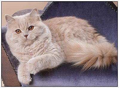 Cream British Longhair Cat Pretty Cats Crazy Cat People British Shorthair Cats