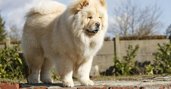 Quality Cream Chow Chow Puppy For Sale Chow Chow Puppy Puppies