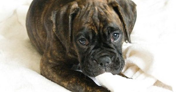 Brindle Boxer Dogs Pictures Boxer Dogs Brindle Brindle Boxer Puppies Boxer Dog Pictures