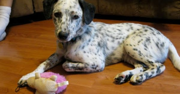 Raising Cajuns Meet Lightning Jack Russell Dog Mixes Blue Heeler