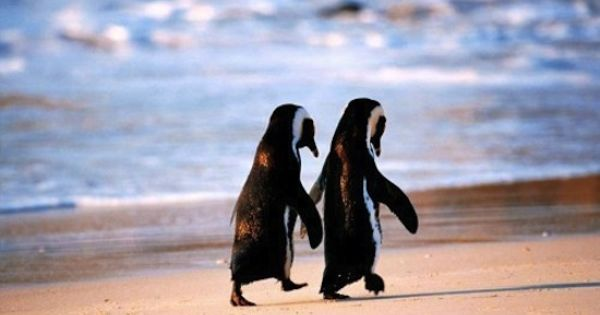 #penguins love couple cute cover animals aw