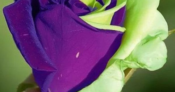 purple green mix rose bud see more pictures seemorepictures beautiful pinterest rose. Black Bedroom Furniture Sets. Home Design Ideas
