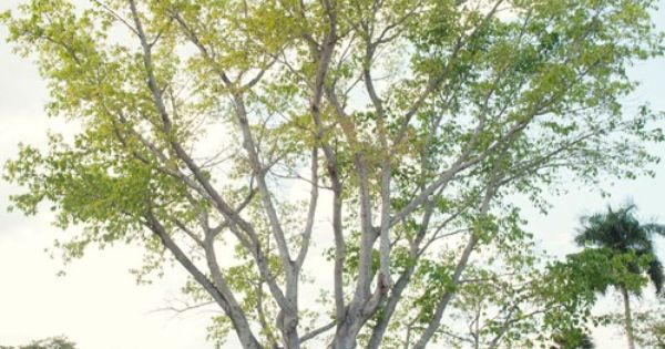 Mysore Fig Tree Wedding At The Edison Ford In Fort Myers