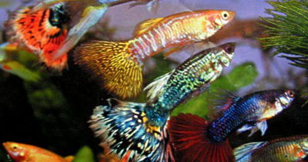 Especies de peces para comenzar tu acuario for Especies de peces