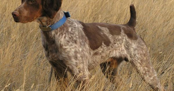 Tri Color Roan Brittany Puppy Love Pinterest