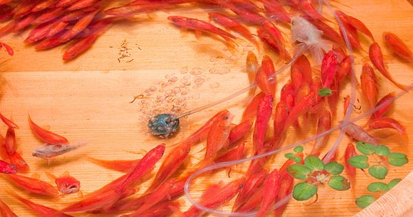 3D Painted Goldfish Embedded in Layers of Resin by Riusuke Fukahori