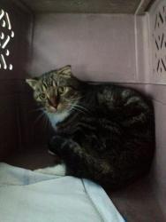 Adopt Kirby On Scottish Fold Cat Scottish Fold Kirby