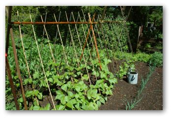 Pole Beans Tips For Growing Pole Beans Growing Green Beans Growing Green Beans Growing Beans Small Vegetable Gardens
