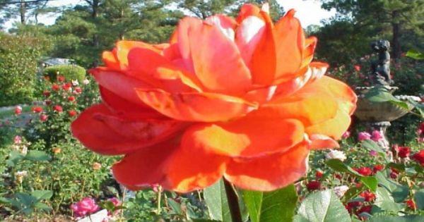 Rose General Care Walter Reeves The Georgia Gardener Planting Roses Lenten Rose Knockout Roses
