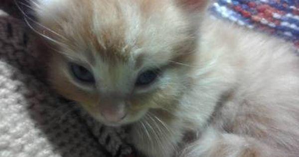 Baby Girl Ginger Kitten Cats Kittens Gumtree Australia Lismore Area Cats And Kittens Kittens Ginger Kitten