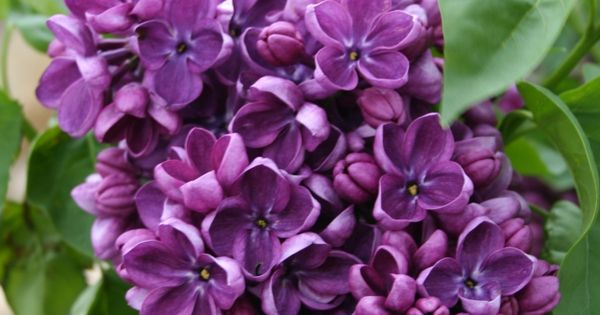 Yankee Doodle Lilac Bush Google Search Purple The