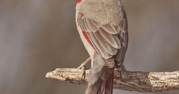 Mexican Desert Cardinal