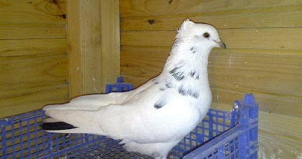 Iranian High Flyer Pigeon Encyclopedia Of Pigeon Breeds Pigeon Breeds Pigeon Pictures Pigeon Bird
