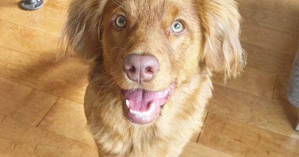 Sweet Chocolate Labrador 2018: Chocolate Labrador Puppy 9 Weeks Old (Calvendo Animals)
