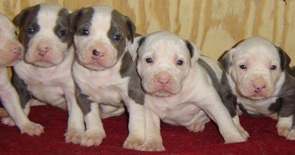 Puppy Crate Training Pitbull Puppies Pitbulls American Pitbull Puppies
