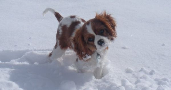 Pin By Mary Wiley On Honden Cavalier King Charles Spaniel En Beau Onze Cavalier Cavalier King Charles Spaniel Cavalier King Charles Spaniel