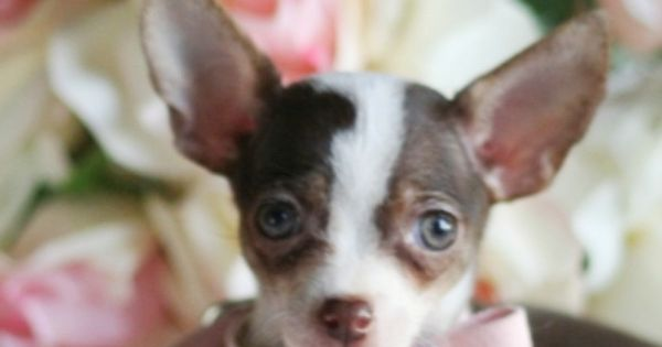 Gorgeous Chocolate White Tan Chihuahua Female Puppy For Sale