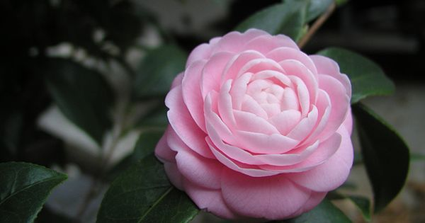 Are These Gardenias For Real Fragrant Plants Forum Gardenweb Pink Plant Fragrant Plant Gardenia Plant