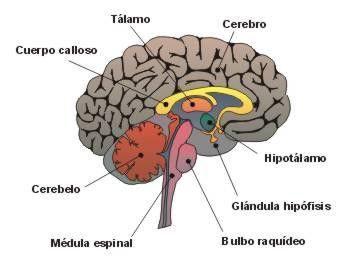 Sistema Nervioso Central Buscar Con Google Anatomia Del Cerebro Humano Anatomia Cardiaca Encéfalo Humano