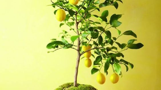 Culture et entretien d 39 un citronnier en pot culture and pots - Faire pousser citronnier ...