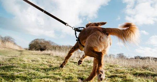 Hunde Die An Der Hundeleine Ziehen Konnen Nicht Nur Sich Selbst Sondern Auch Die Halter Durch Das Gezerre Verlet