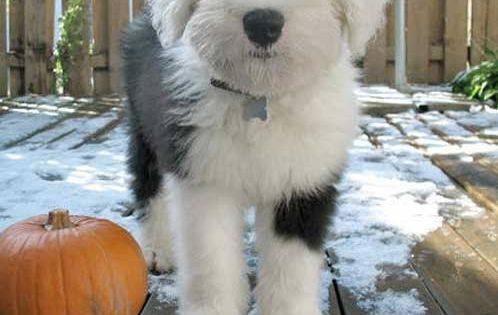 Now this is a cute puppy! Adorable Old English Sheep Dog
