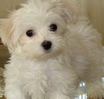 Chihuahua Poodle Mix Meet The Cheerful Chipoo Pup Dog Breeds