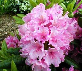 R Haaga Blooms Late In Season Grows 5 Ft In 10 Years Hardy