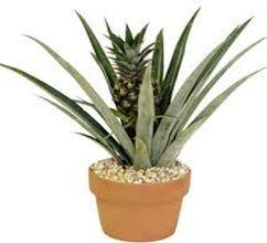 Faire Pousser Un Ananas Comment Planter Un Ananas Ananas Plante