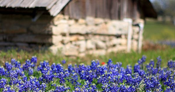 Texas Bluebonnets. Cyndi.... I dont know why... you are a Blue Bonnet....