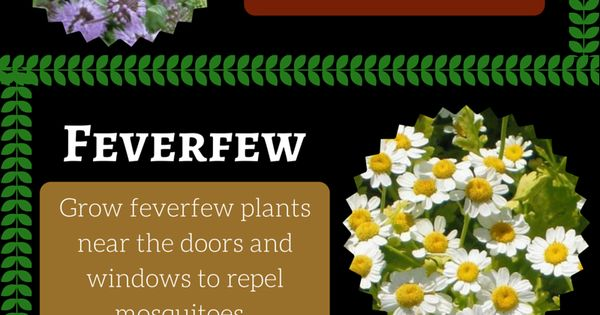 7 Mosquito Repelling Plants To Get Rid Of Mosquitoes From