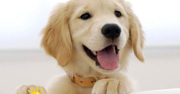 فروش سگ گلدن رتر یور With Images Dog Skin Allergies Retriever