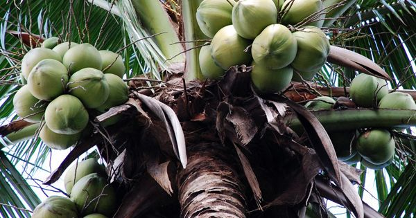 engeev, exports fully husked, semi husked coconut exporters in India. Wholesale Coconut