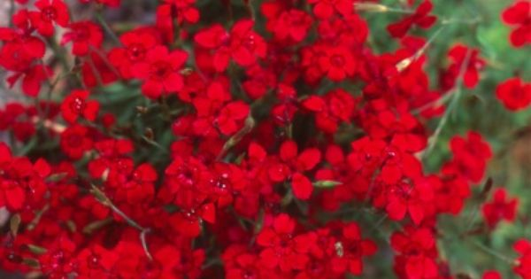 Beautiful red flowers. Great site to learn more about Perennials Full Sun