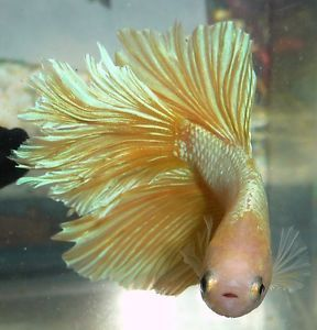 Sale Young Halfmoon Male Live Betta Fish 06 Betta Fish Betta Fish