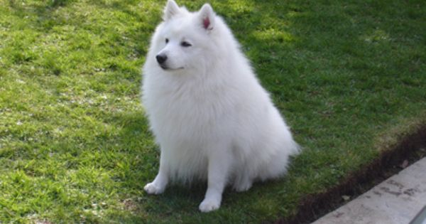 If I Ever Get A Dog It Will Be A Spitz Dogs Japanese Spitz